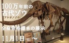 100万年前の古代ゾウ(アケボノゾウ)全身骨格標本の展示